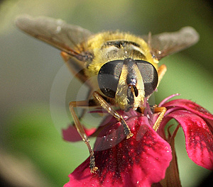 Wasp...(11) Royalty Free Stock Photo
