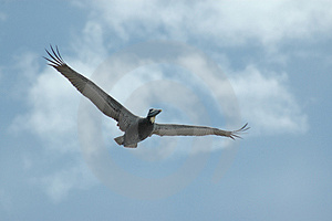 Pelican soaring 1 Royalty Free Stock Images