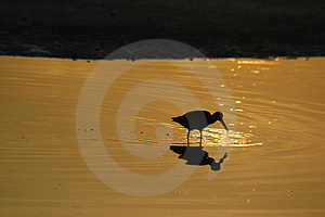 Willet feeding in reflecting pool Stock Image