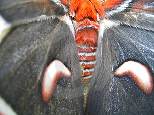 Giant Moth Wings Royalty Free Stock Image