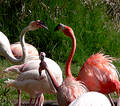 Flamingos Kiss Stock Photography