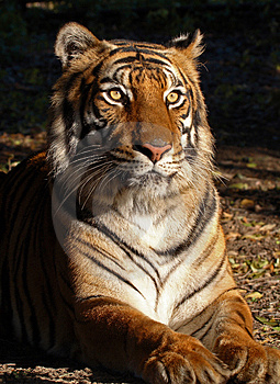 Female Tiger Free Stock Photography