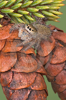 Jumping Spider On Pine Cones Royalty Free Stock Photography - Image: 1704047