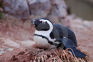 Penguin Stock Images - Image: 1707884