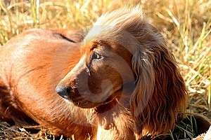 Spaniel Looking Away From Camera Royalty Free Stock Image - Image: 17001706