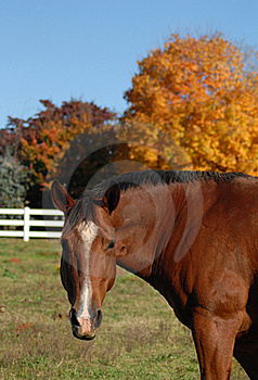 Horse In Autumn Field Royalty Free Stock Photos - Image: 17006278