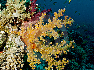 The Soft Corals (Alcyonacea) (dendronephthya) Stock Photography - Image: 17010732