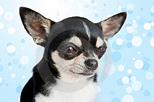 Cute Chihuahua On Background Royalty Free Stock Photo - Image: 17017555