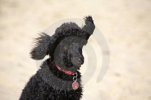 Toy Poodle Royalty Free Stock Photography - Image: 17018827
