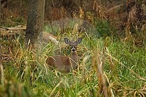 White-tailed Deer Doe Stock Image - Image: 17024161