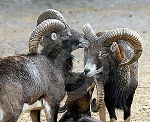 Mouflon Family Stock Photography - Image: 17034542