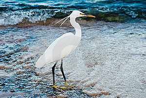 White Heron Stock Photography - Image: 17043912