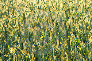 Unripe Ears Of Wheat Royalty Free Stock Photography - Image: 17046177