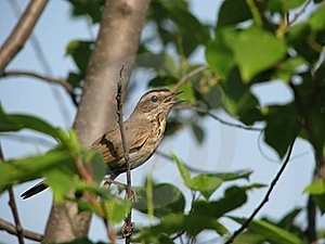 Singing Millerbird Royalty Free Stock Photos - Image: 17050538