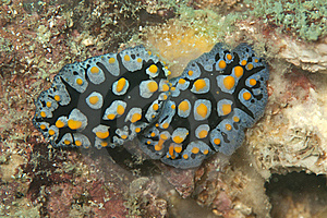 Twos Beautiful Yellow Spotted Nudibranch Stock Photo - Image: 17055140