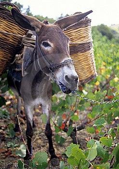 Donkey Eating Grapes Royalty Free Stock Photos - Image: 17056928