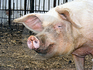 Smile Piggy Royalty Free Stock Images - Image: 17058839