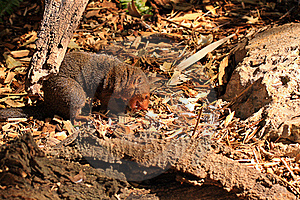 Dwarf Mongoose Eating A White Mouse Royalty Free Stock Image - Image: 17064186