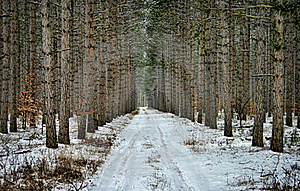 Road Through Pine Trees Royalty Free Stock Images - Image: 17069759