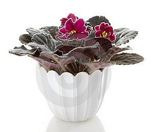 Pot Flowers Saintpaulia Flower Royalty Free Stock Photo - Image: 17075985