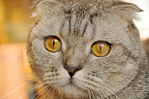 Lop-eared Cat Stock Photography - Image: 17087142