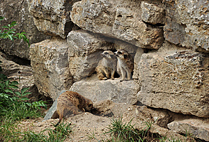 Two Marmots Looking To One Side Stock Photos - Image: 17091243