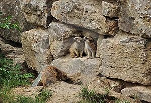 Zwei Murmeltiere, Die Zu Einer Seite Schauen Stockfotos - Bild: 17091243