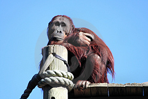 Daydreaming Orangutan Royalty Free Stock Photos - Image: 1711378