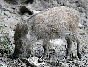 Wild Boar Royalty Free Stock Image - Image: 1712366