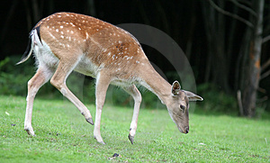 Walking Fallow Deer Stock Photos - Image: 1712753