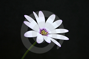 Cape Daisy Royalty Free Stock Images - Image: 1719099