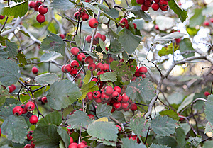Red Ash-berry Stock Photos - Image: 17100293