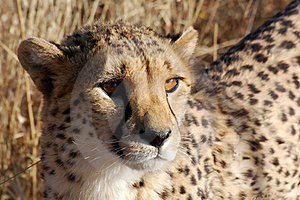 Cheetah Head Detail, Looking In The Camera, Namibia Royalty Free Stock Photography - Image: 17103797