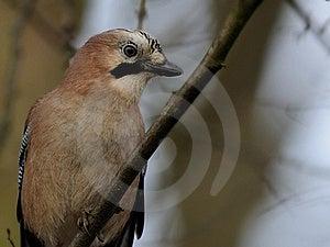 Eurasian Jay (Garrulus Glandarius) Stock Photos - Image: 17109163