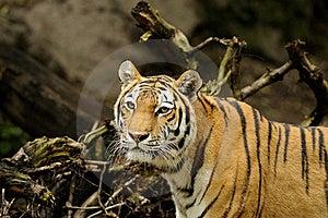 тигр Tigris Panthera Altaica Siberian Стоковые Фотографии RF - изображение: 17110168