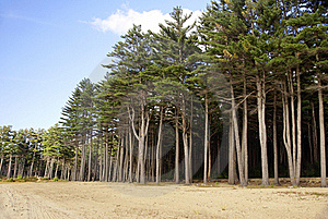 Tall Pines Royalty Free Stock Photo - Image: 17110285