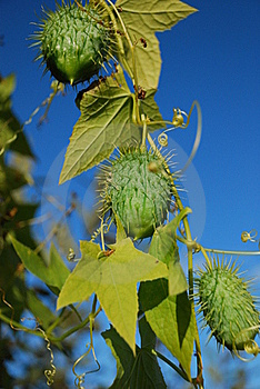 Cucumbers Royalty Free Stock Photography - Image: 17126887
