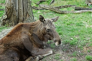 Moose - European Elk Europe (Alces Alces) Royalty Free Stock Images - Image: 17127059