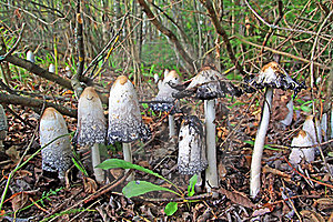 Group Toadstool Stock Photos - Image: 17139243