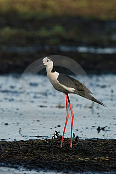 Male Of Stilt Royalty Free Stock Images - Image: 17139869
