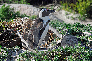 African Penguins, Simon's Town, South Africa Stock Photography - Image: 17156932