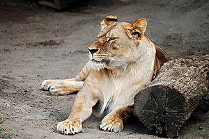 Lioness Royalty Free Stock Images - Image: 17160249