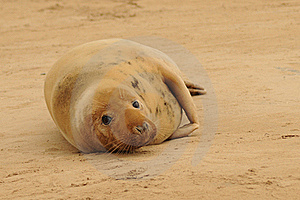 Grey Seal Female Stock Images - Image: 17161164