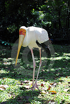 Yellow-billed Stork Royalty Free Stock Images - Image: 17162949