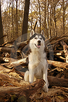 Siberian Husky Stock Photo - Image: 17163310