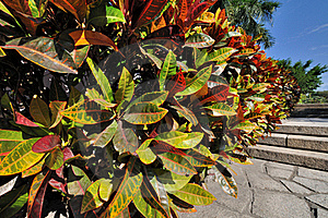 Colorful Leaves Of Holly Royalty Free Stock Image - Image: 17163346