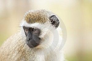Portrait Of Monkey Royalty Free Stock Photos - Image: 17163898