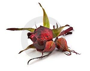 Dry Rose Stock Image - Image: 17174041