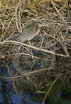 Green Heron (Butorides Virescens) Hunting Stock Photos - Image: 17174993