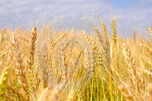 Ripe Wheat Ears Stock Photos - Image: 17175263